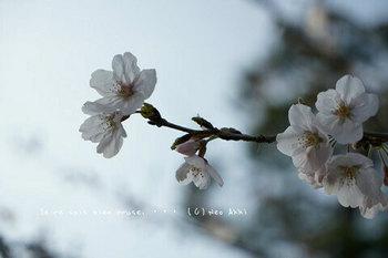 鎌倉の桜2019(28).jpg