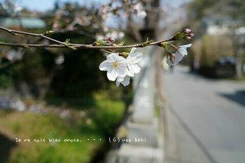 鎌倉の桜2019(3).jpg