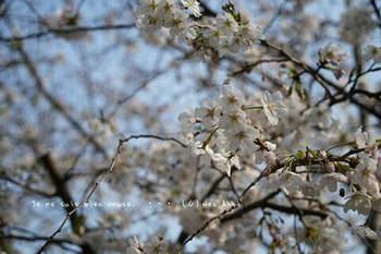 鎌倉の桜2019(38).jpg