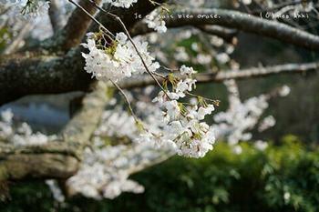 鎌倉の桜2019(39).jpg