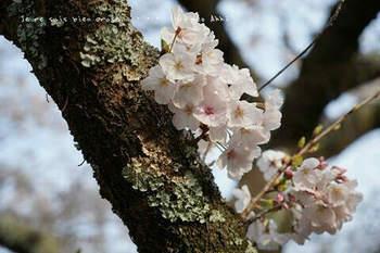 鎌倉の桜2019(43).jpg