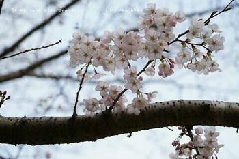 鎌倉の桜2019(55).jpg