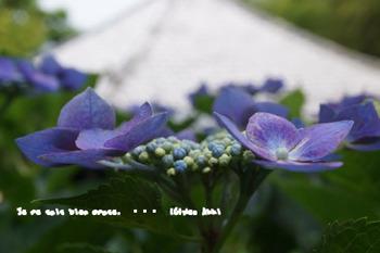 鎌倉紫陽花2014(10).jpg