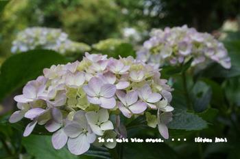 鎌倉紫陽花2014(13).jpg