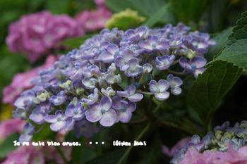 鎌倉紫陽花2014(14).jpg