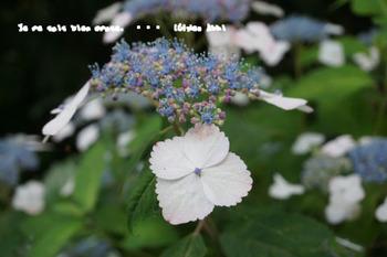 鎌倉紫陽花2014(16).jpg