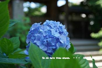 鎌倉紫陽花2018(6).jpg