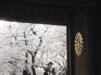 靖国神社の桜(3).jpg